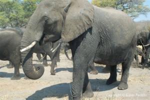 elephant-presidential