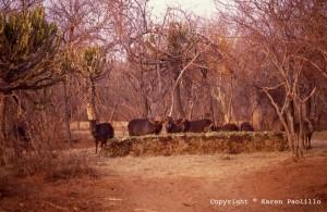 Waterbuck-feeding-at-hippos-sandwich