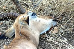 snared-impala