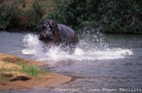 Anniversary of 20 years of living with the Turgwe Hippos. 1990-2010