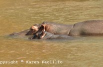 Feb. 2013 – Baby Hippo Banky