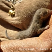 Mar. 2013 – Baby Mongoose new born
