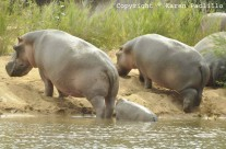 May 2013 – Hippos on land and Painted Dogs