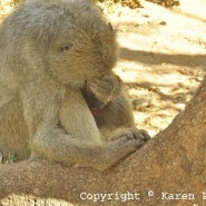 Aug. 2013 – Bella, the baboon being naughty