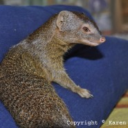 Nov. 2013 – Squiggle slender mongoose