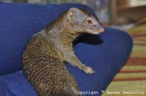 Nov. 2013 – Squiggle slender mongoose