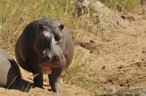 Dizzy – Hippo female