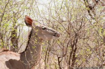 Kudu female licking her lips