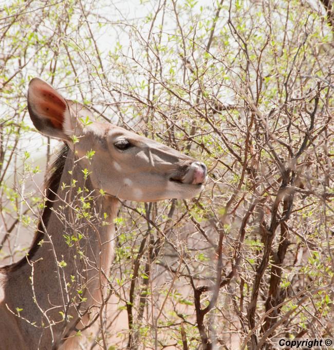 Kudu female licking her lips