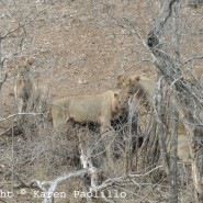 Nov. 2012 – Lions on a Kill