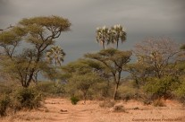 Acacia tortillis and Mlala palms