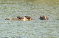 Apr. 2011 – New Hippo Calves