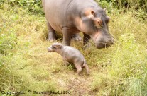 Apr. 2011 – Hippo Tacha gives birth 6th April 2011