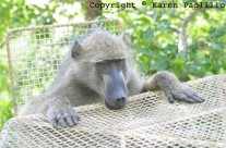Dec. 2010 – Karen and the Baboons