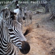 Dec. 2011 – Zebras, Mbira music and more