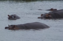 Jan. 2014 – Hippos after the rains