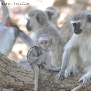 Jan. 2011 – Vervet Monkeys