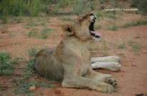 Jan. 2011 – Lions at Pondoro, South Africa
