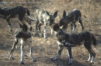 Jun. 2010 – African Painted Wild Dogs