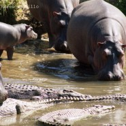 Mar. 2011 – Hippo behaviour