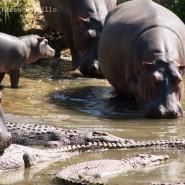 Mar. 2011 – Hippo behaviour