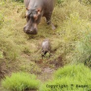 May 2011 – Two day old baby hippo BonBon
