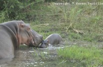 Nov. 2012 – New Born Baby Hippo