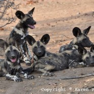 Oct. 2011 – Painted Wild Dogs