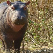 Sept. 2011 – Baby Hippo, Snares and more