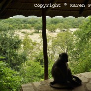 Feb. 2014 – Baboons stranded in a flooded Turgwe