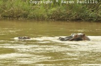 Mar. 2014 – New Baby Hippo