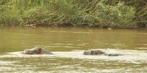 Along the river, hippo calf following mother