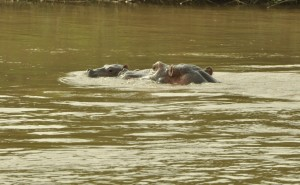 hippo calf with mother Relief