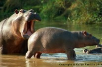 Hippos playing in Turgwe River