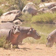Hippos before the Summer Heat Sept 2014