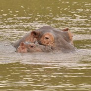 Name the baby hippo Jan 2015