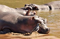 Interesting Hippo Behaviour