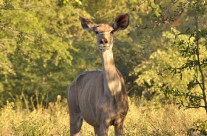 Hyena calls and Kudu family June 2015