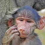 SetA_©_Chacma baboon THE PHILOS0PHER