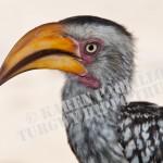 SetA_©_Yellow billed hornbill