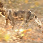SetB_©_Painted wild dog on the run