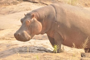 cheeky hippo
