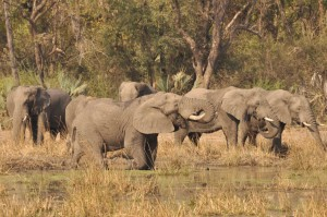 elephants near to Turgwe Hipo Trust