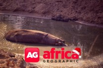 Africa Geographic : The hippos in the drought