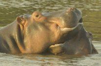 #Hippo October 2016