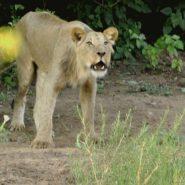 Lion Roaring December 2016