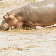 End of Drought Feeding of Hippos January 2017 #Turgwehippotrust