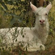 Rare Albino Waterbuck Calf April 2017 #Turgwehippotrust