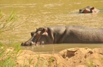 Hippos Relaxing and Calling May 2017#Turgwehippotrust