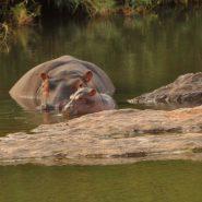 Baby Hippo Steve or Stephane October 2017